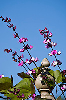 Purple-podded Hyacinth bean vine (Dolichos lablab)