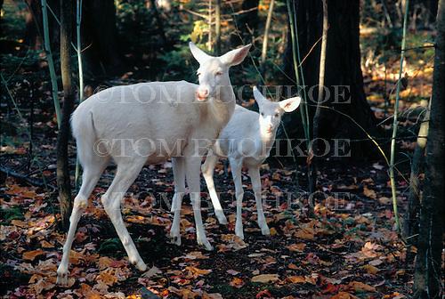 Albino white-tailed deer, doe with fawn, Odocoileus virginianus, in the Upper Peninsula of Michigan.