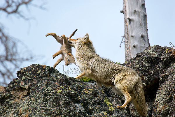 Coyote (Canis latrans) mother and pup | Tom & Pat Leeson