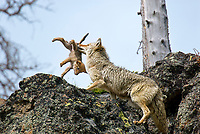 Wild Coyotes (Canis latrans)--mother moving young pup to new densite.  Western U.S., June.