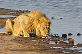 Lone male lion having a lesurely and lengthly drink. Water is a key component to digesting a belly full of meat. Male lions do travel alone for various reasons, from marking teritory to looking for a pride and others.