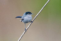 536360003 a wild male california gnatcatcher polioptila californica a federally threatened species perches on a dead twig in open space protected habitat los angeles county california