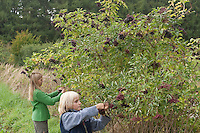 Schwarzer Holunder, Kinder ernten reife Holunderbeeren, Fliederbeeren, Sambucus nigra, Common Elder, Elderberry, Sureau commun, Sureau noir