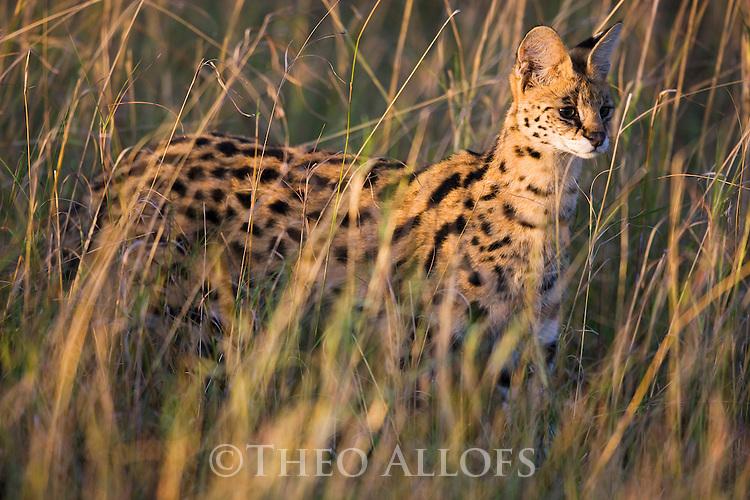 Serval (Felis serval) standing in grass, Maasai Mara, Kenya