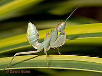 "0718-07qq  Wide armed mantis - Cilnia humeralis ""Nymph"" © David Kuhn/Dwight Kuhn Photography"