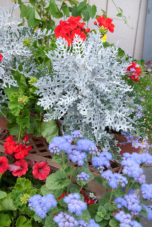 Patriotic Red, white and blue color theme garden of annuals with red petunias and annual geraniums Pelargonium, white Dusty Miller Senecio cineraria 'Silver Dust', blue Ageratum