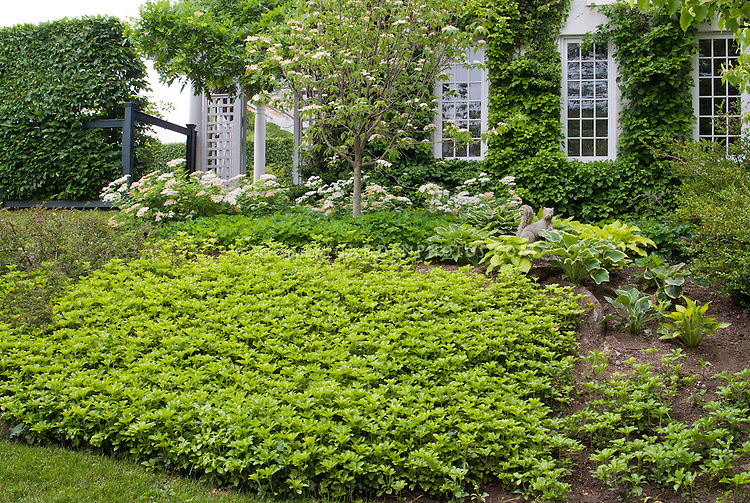 Pachysandra Ground Cover Plants In Home Landscape Plant