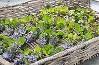 Günsel und Gundermann, Ernte, werden auf einem Tablett getrocknet, trocknen, Tee, heiltee, Kräutertee. Kriechender Günsel, Ajuga reptans, bugle, blue bugle, bugleherb, bugleweed, carpetweed, carpet bungleweed, common bugle, La bugle rampante. Gewöhnlicher Gundermann, Efeublättriger Gundermann, Glechoma hederacea, Alehoof, Ground Ivy, Lierre terrestre