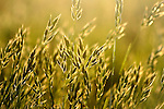 Beautiful golden evening light on the wild grass of Tennyson down on the isle of wight