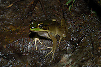 A well-hidden Vaillant's frog, Rana viallanti, on the rainforest floor; La Selva, Costa Rica