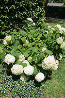 Hydrangea arborescens in bloom with Vinca minor in bloom in backyard with lawn grass, house in rear