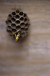 Paper Wasp in nest with back end sticking out Marysville Washington State USA