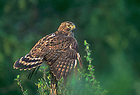 542058019 Red-shouldered Hawk Buteo lineatus WILD.Perched on stump with wings extended down.Rio Grande Valley, Texas