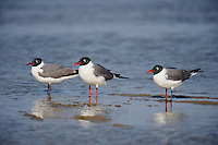 540070017 a wild flock of three adult laughing gulls larus atricilla stand together in the surf along the beach of south padre island in the gulf of mexico just off the texas coast