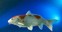 1 one Koi fish tropical oriental fish