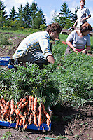 Farm interns harvest carrots at Everdale organic farm, near Toronto, Ontario.