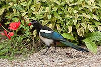 Elster, pflückt im Garten die verlockenden roten Blütenblätter einer Mohnblume ab, Pica pica, Magpie, Pie bavarde
