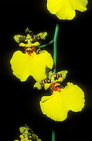 Oncidium Gower Ramsey Orchid hybrid