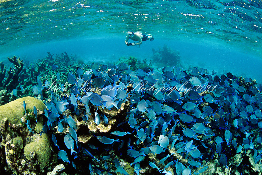Snorkeler with blue tangs<br /> Buck Island National Monument <br /> St Croix US Virgin Islands