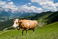 Cow stands in green Alpine meadow in summer with high peaks of Steinernes Meer (stone sea) in background, Austria