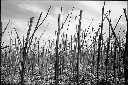Stubble, Occold, Suffolk 2014 by Paul Cooklin