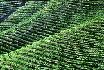 Vineyard of Sterling Vineyards, near Calistoga, CA