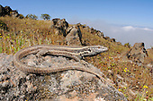 A female Wall Lizard (Gallotia caesaris) basking on a rock, endemic, La Gomera, Canary Islands