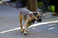 Border Terrier dog pulls on his leash, England, United Kingdom