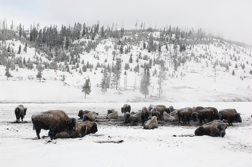Bison (Bison bison) in snow at Bisquit Basin, Yellowstone National Park, Winter, Wyoming, United States of America.