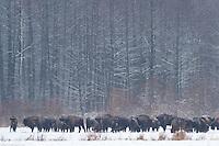 European bison (Bison bonasus) in the agricultural field, Bialowieza, Poland