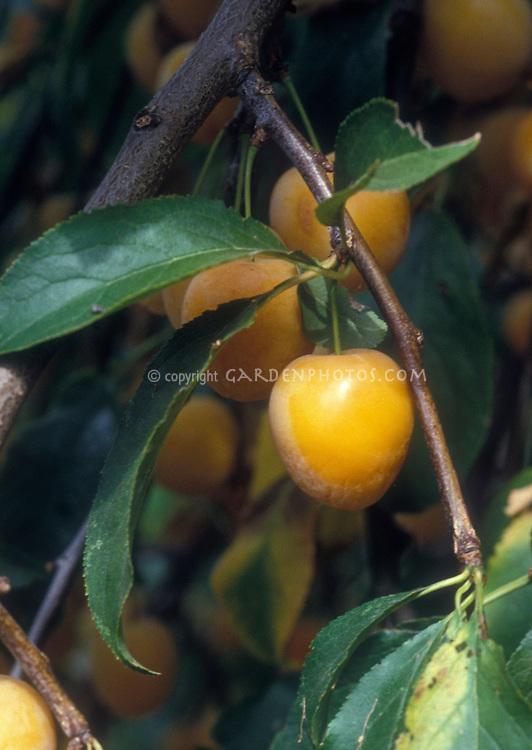 Prunus armeniaca Apricot Sweetheart Dwarf