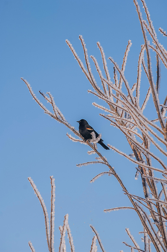 A red-winged blackbird perches among frost covered branches in early spring.