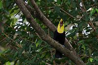 Chestnut Mandible or Swainson's Toucan (Ramphastos swainsonii)