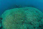 Vast fields of meandering corals (Lobophyllia sp.) with separate walls and diver as scale.