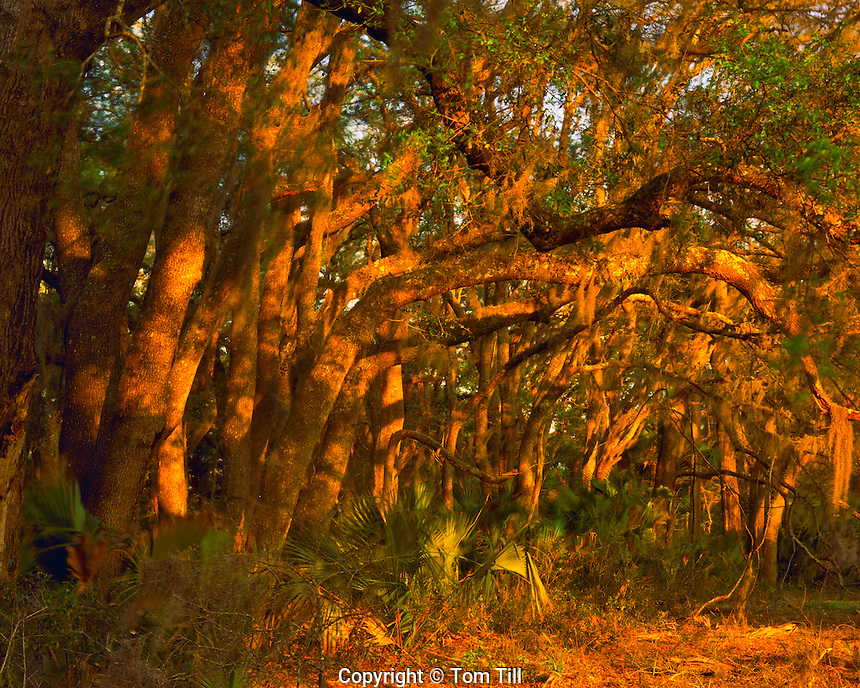 Hammock in Spring Sunset Light, Paynes Prairie State Preserve, near Gainesville, Wetlands Basin in northern Florida