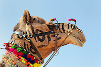 Decorated Camel head, Pushkar Fair, India