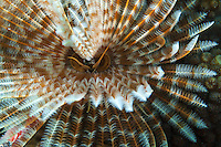 Magnificent Feather Duster Worm<br />