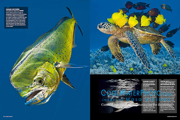 Plongée Magazine, December 2013, Photographer Portfolio, France, Image ID: Mahi-Mahi-Dolphinfish-Dorado-0028-V, Green-Sea-Turtle-0097, Spotted-Dolphin-Atlantic-0004