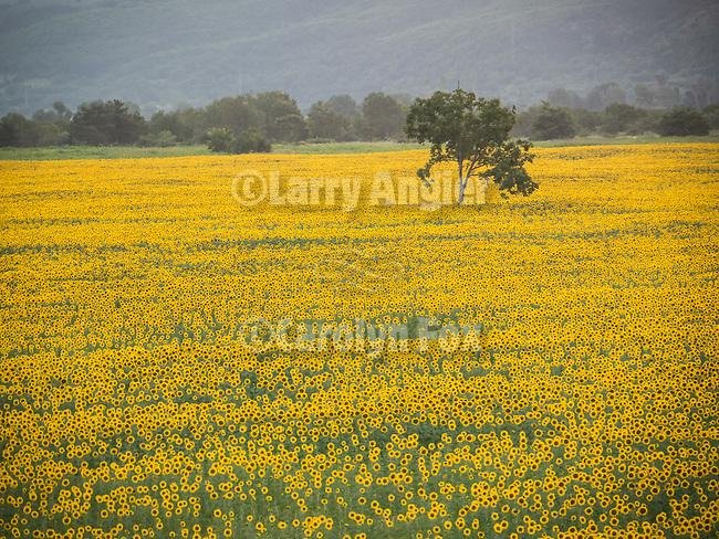 Sunflower field at sun down, Davovo, Bulgaria