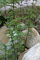 Pfefferminze, Pfeffer-Minze, Minze, Mentha x piperita, Kreuzung aus Mentha aquatica und Mentha spicata, Peppermint, Menthe poivrée