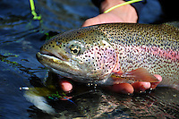 A heavily spotted rainbow trout from a small stream in south central Alaska.