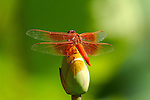 Dragonfly on Lotus, Flame Skimmer male, Libellula saturata, Echo Park, Los Angeles, California