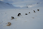 Slegde dogs in Sarek,Sweden