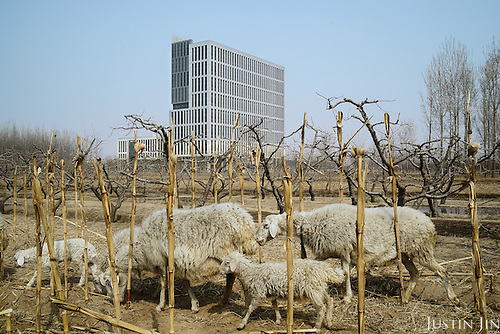 Sheep graze in front of a building in Hebei, on the outskirts of Beijing, where rural land is increasingly destroyed to make way for urbanisation. <br /> <br /> China is pushing ahead with a dramatic, history-making plan to move 100 million rural residents into towns and cities over six years &mdash; but without a clear idea of how to pay for the gargantuan undertaking or whether the farmers involved want to move.<br />