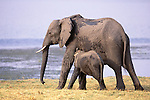 African elephant calf nurses, Matetsi Reserve, Zimbabwe