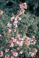 Pink spring flowers of shrub Viburnum bodnantense Pink Dawn