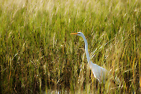 Glowing sunlight in the salt marshes and a great white egret is already on the hunt in the St. Marks National Wildlife Refuge on Florida's Gulf Coast.