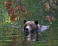 Alaskan Brown Bear (Ursus arctos), Brooks Falls in Katmai National Park, Alaska.  Bear swimming with fall leaves