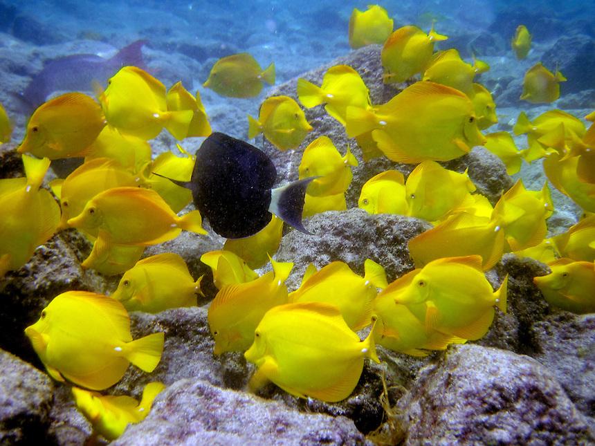 Tropical Fish Of Hawaii Shoal Of Yellow And Black
