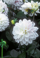 Dahlia Silver Years with dark foliage and white flower with pink flush blush decorative similar to Fusion